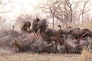 Vultures Hyenas Elephants