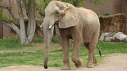 30 Year Old African Elephant