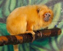 Golden-lion-tamarin-1