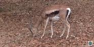 Memphis Zoo Gazelle