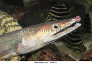 Whitespotted-conger-conger-myriaster-in-japan-f4dky1