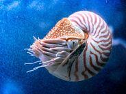 Chambered-nautilus-on-blue