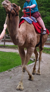 Cleveland Metroparks Zoo Camel