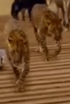 Evan Almighty Leopards