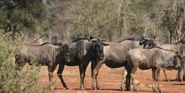 KNP Wildebeests