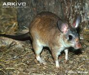 Malagasy-giant-rat-