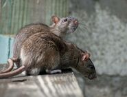 Male and female brown rats