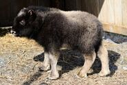 Muskox calf