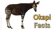 Okapi-Facts-624x345