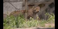 SDZ TV Series Leopard