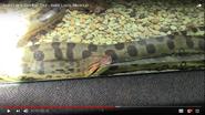 Saint Louis Zoo Anaconda