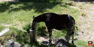 San Diego Zoo Safari Park Okapi