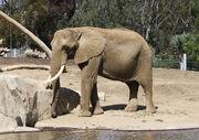 1280px-African bush elephant in San Diego Zoo