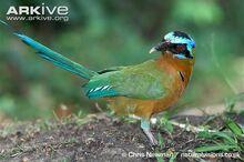 Adult-blue-crowned-motmot