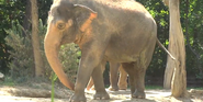 Cincinnati Zoo Elephant