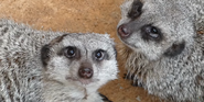 Lincon Park Zoo Meerkats