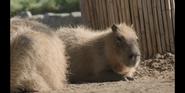SDZ TV Series Capybara