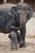 A Dangerous Mother Elephant Angrily Throws Stones at Visitors While Trying To Protect Her Calf from the Boy