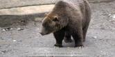 Alasla Zoo Grizzly
