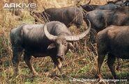 Male-Asian-buffalo-with-herd