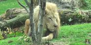 Phelidelphia Zoo African Lion