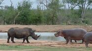 Rhinoceros and Hippos