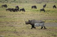 Rhinoceros and Wildebeests