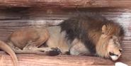 Riverbanks Zoo Lion