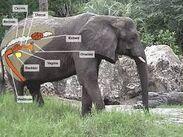 Woolly Elephant