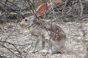 1200px-Antelope jackrabbit 2