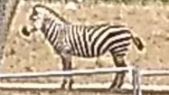 Columbus Zoo Zebra