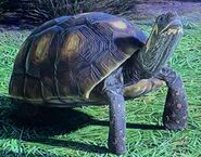 Red-Footed Tortoise ZTX