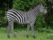 Zebra, Crawshay's