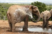 4283656-female-african-elephant-spraying-water-to-cool-down