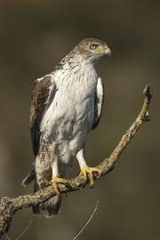 Bonelli's Eagle - Montsonis - Spain S4E8373 (24849913309)