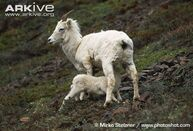 Dall-sheep-lamb-Ovis-dalli-dalli-suckling