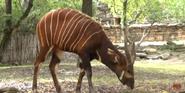 Forth Worth Zoo Bongo