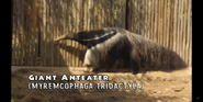 Pittsburgh Zoo Anteater
