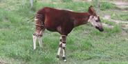 Sedgwick County Zoo Okapi