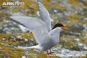 Tern, Arctic