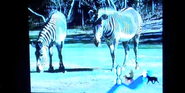 Ultimate Zoo Zebras