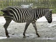Zebra, Manless