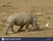 A southern white-rhino-calf-with-cattle-egret-by-it-CPKN6W