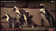 Animal Atlas African Penguins