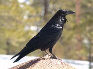 Common-Raven-side