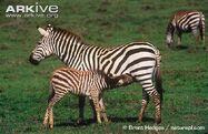 Grants-zebra-foal-suckling