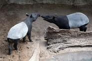 Male and female Malayan tapirs