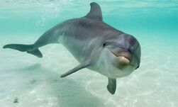 Dolphin, Bottle-Nosed