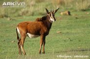 Female-Roosevelts-sable