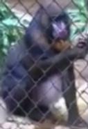 LA Zoo Mandrill